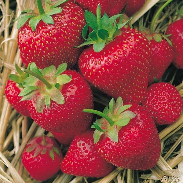 Erdbeere 'Korona®' Fragaria x ananassa Bild