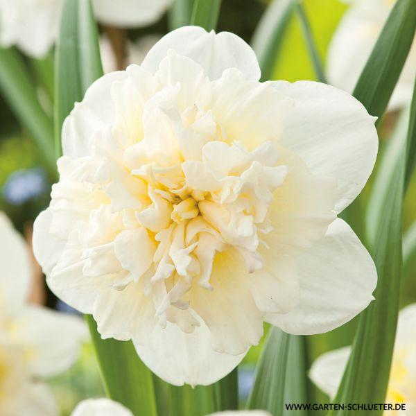 Gefüllte-Narzisse 'Ice King' - 5 Stück Narcissus 'Ice King' Bild
