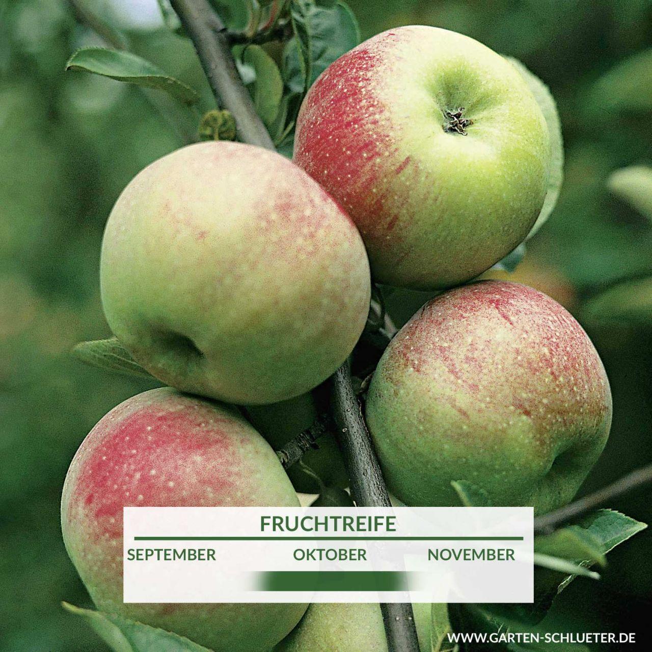 Apfel `Ontario`