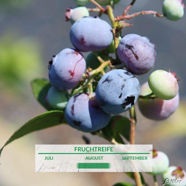 Heidelbeere 'Brigitta Blue' Vaccinium corymbosum 'Brigitta' Bild