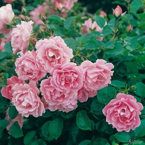 Bodendeckerrose 'Sommerwind®' Rosa 'Sommerwind®' Bild