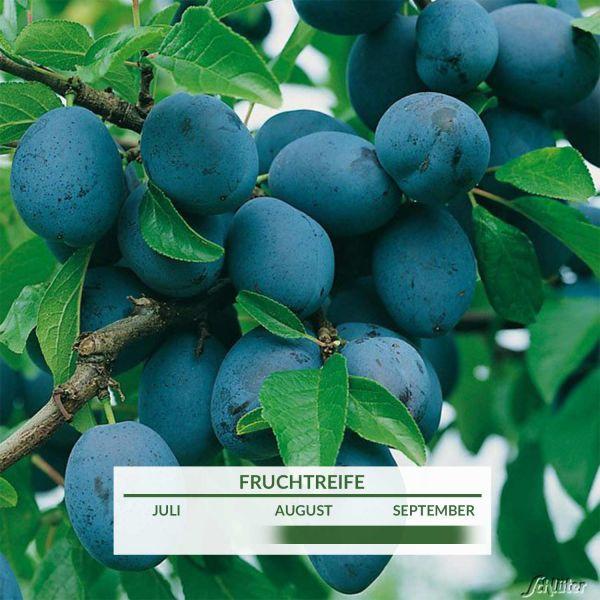 Zwerg-Zwetsche 'Hanita®' Prunus domestica Bild