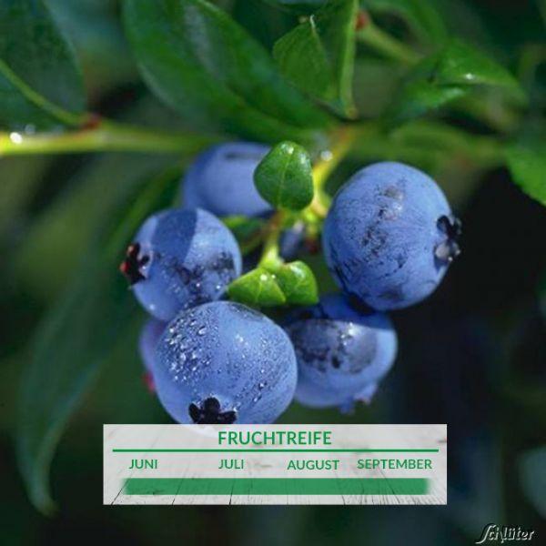 Heidelbeere 'Hortblue Petite®' - die Zweimal Fruchtende Zierheidelbeere Vaccinium corymbosum Bild