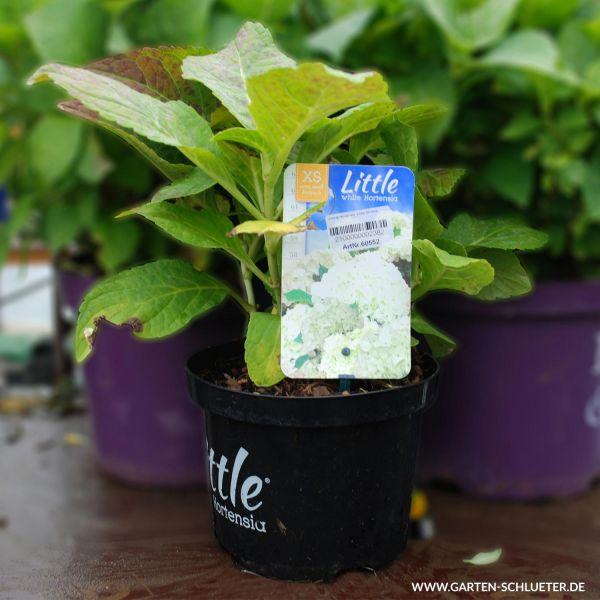 Zwerg-Hortensie 'Little White®' Bild
