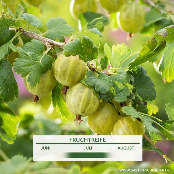 Stachelbeere 'Tatjana' Ribes uva-crispa 'Tatjana' Bild