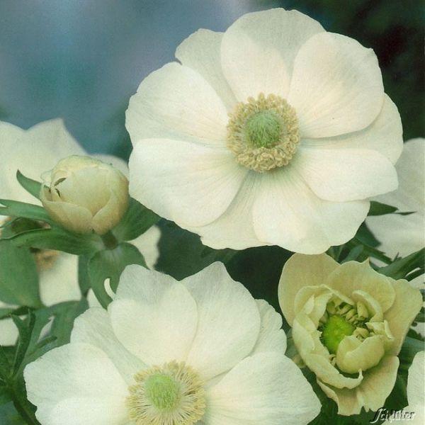 Garten-Anemone 'The Bride' - 15 Stück Anemone coronaria 'The Bride' Bild