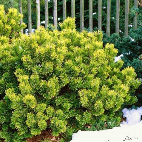 Gelbe Zwergkiefer 'Carsten´s Wintergold' Pinus mugo 'Carsten´s Wintergold' Bild