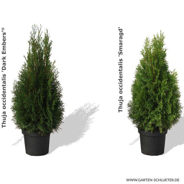 Lebensbaum 'Dark Embers®' - 'Lesdasma' Thuja occidentalis 'Dark Embers' ® / 'Lesdasma' (S) Bild