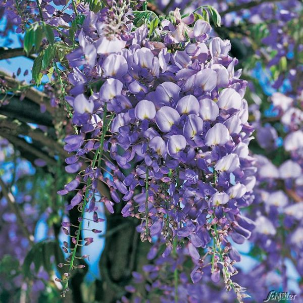 Blauregen 'Prolific' - XXL Wisteria sinensis 'Profilic' - XXL Bild
