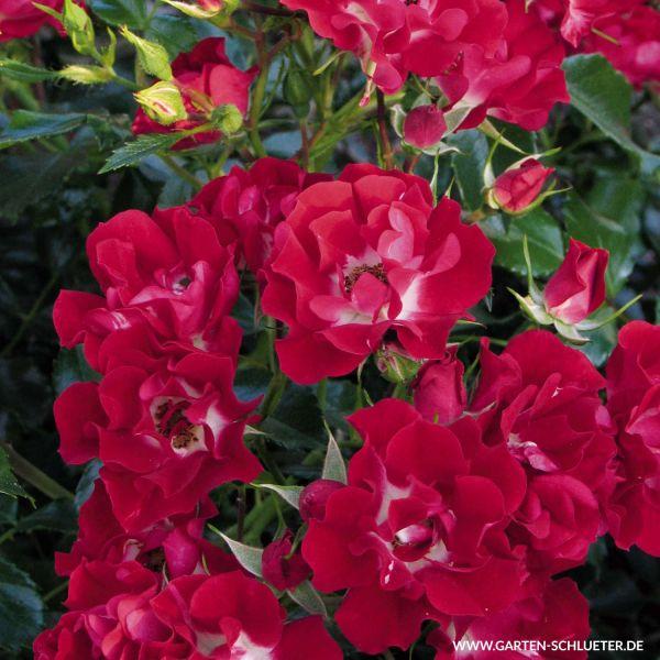 Ramblerrose 'Rambling Rosie® Rosa 'Rambling Rosie®' Bild