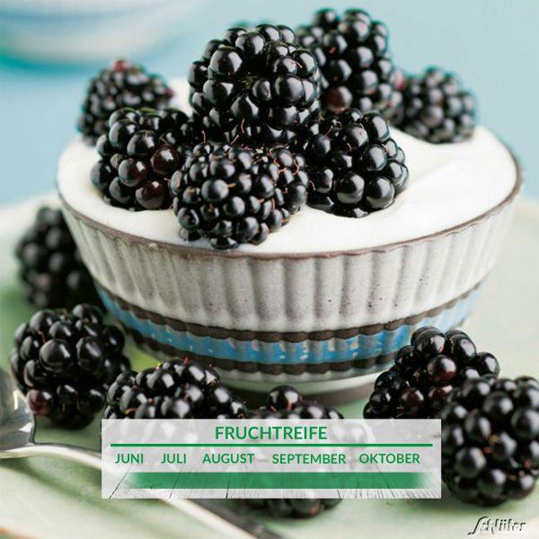 Brombeere 'Primocane Reuben®' Rubus fruticosus 'Primocane Reuben®' Bild