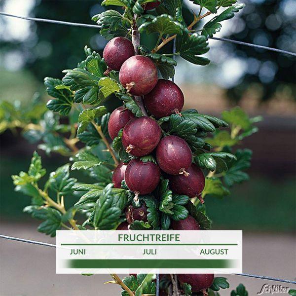 Stachelbeere 'Remarka®' Ribes uva-crispa 'Remarka®' Bild