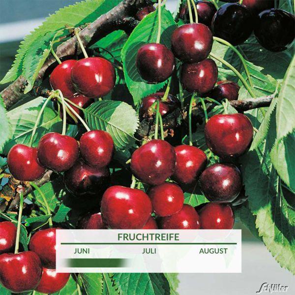 Süßkirsche 'Erika' Prunus 'Erika' Bild