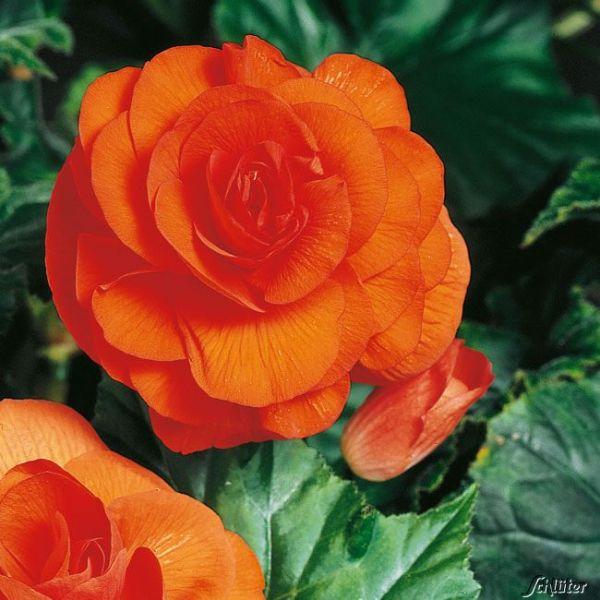 Riesenblütige Begonie 'Grandiflora' orange - 3 Stück Begonia Grandiflora Bild