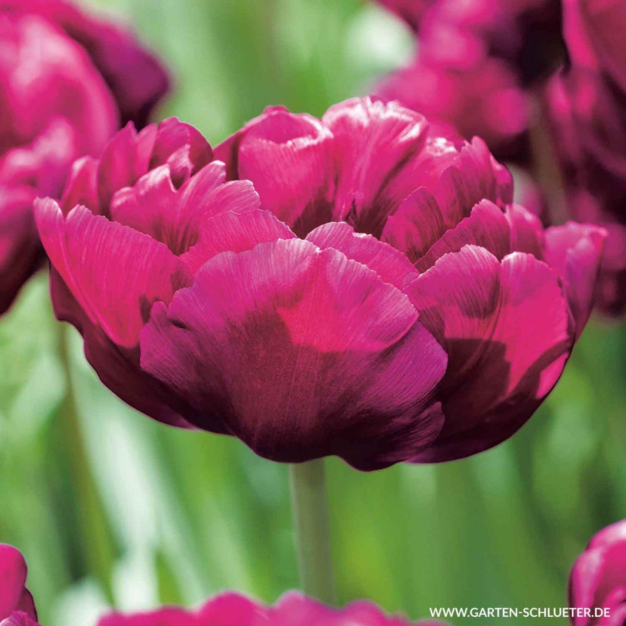 Garten-Schlueter.de: Gefüllte frühe Tulpe Showcase - 7 Stück