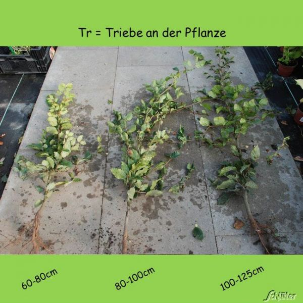 Wurzelnackte Pflanze, 100-125 cm, 5 Pflanzen, 5 Stück