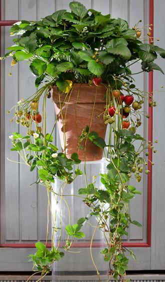 Erdbeere_Klettererdbeere
