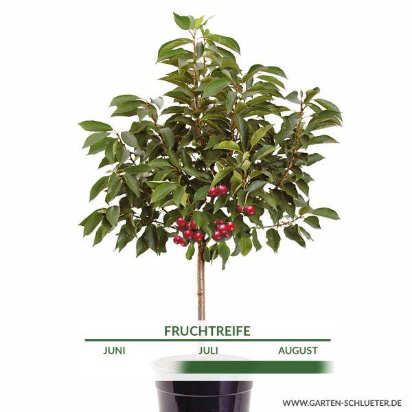 Obst-Zwerg® Sauerkirsche 'Mailot' Prunus cer. 'Mailot' Bild