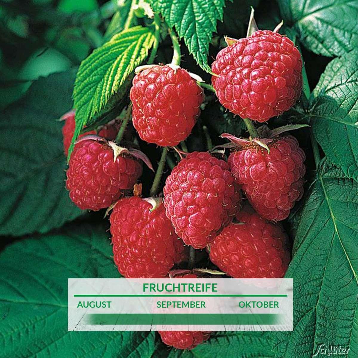 Hervorragend Himbeere 'Autumn Bliss®' - Rubus idaeus 'Autumn Bliss FP54