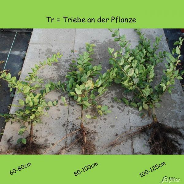 Wurzelnackte Pflanze, 60-80 cm, 10 Pflanzen, 10 Stück