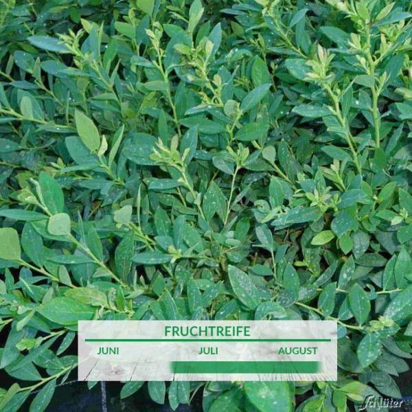 Wintergrüne Heidelbeere 'Sunshine Blue' Vaccinium corymbosum 'Sunshine Blue' Bild