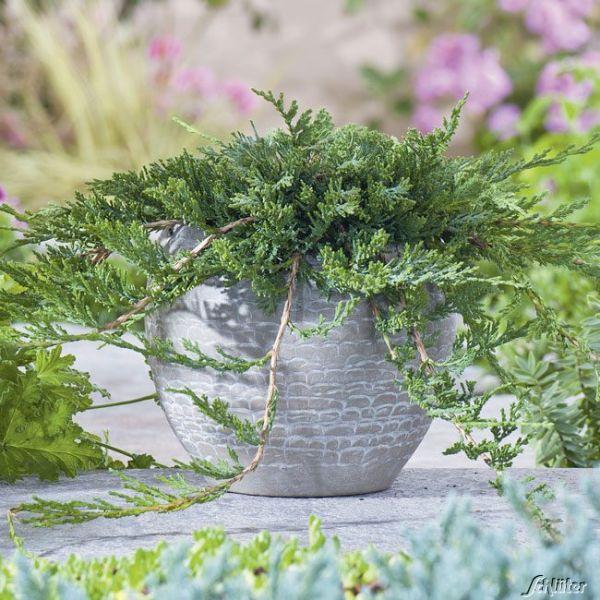Teppich-Wacholder 'Wiltonii' Juniperus horizontalis 'Wiltonii' Bild