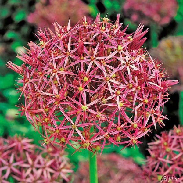 Allium christophii 'Sternschnuppe' Allium christophii 'Sternschnuppe' Bild