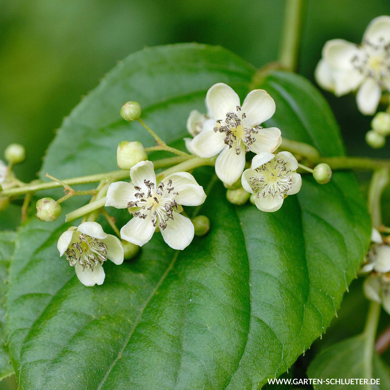 Befruchter Kiwi Blütenwolke Romeo Actinidia Arguta Blütenwolke