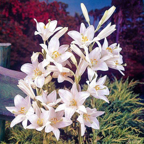 Madonnenlilie - 1 Stück Lilium candidum Bild