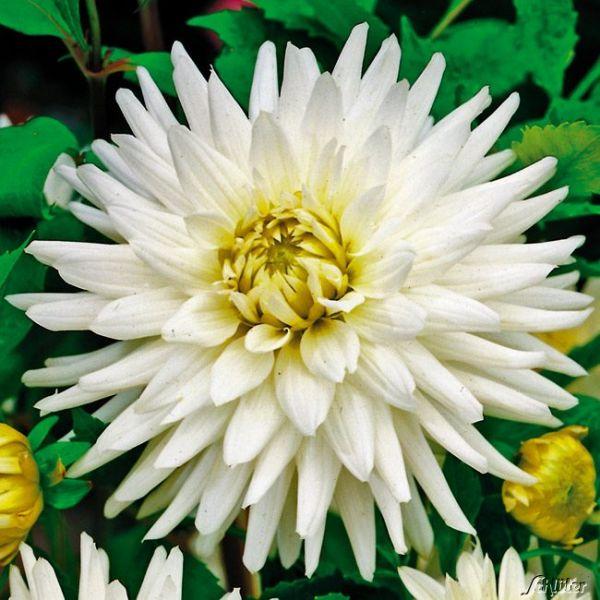 Kaktusdahlie 'My Love' Dahlia 'My Love' Bild