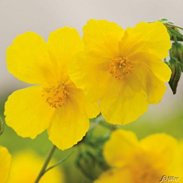Sonnenröschen 'Gelb' - 3 Stück Helianthemum Bild