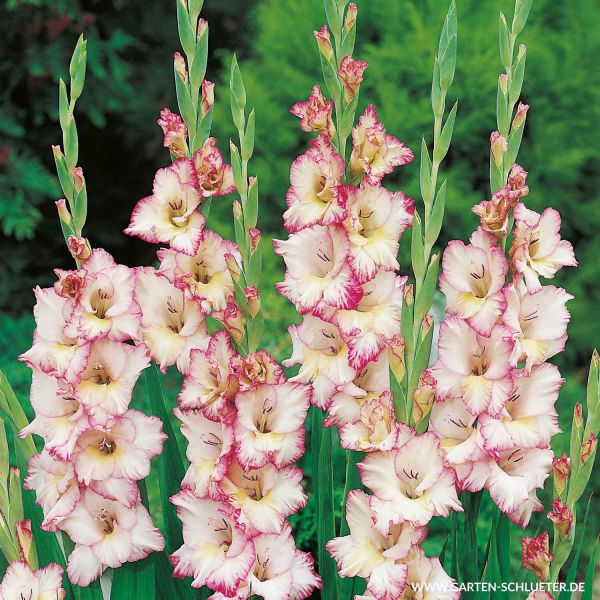 Gladiole 'Priscilla' - 10 Stück Gladiolus Bild