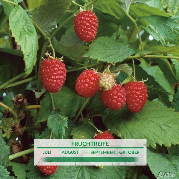 Himbeere 'Schönemann' Rubus idaeus 'Schönemann' Bild