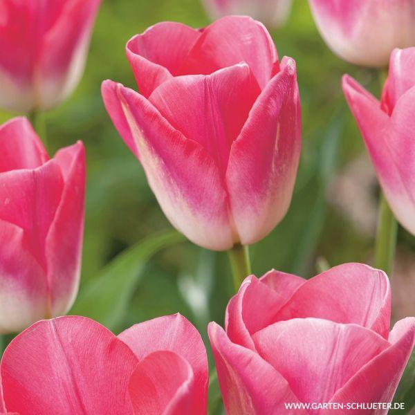 Triumph-Tulpe 'Dynasty' - 10 Stück Tulipa 'Dynasty' Bild