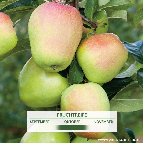 Apfel 'Weißer Winterglockenapfel Malus 'Weißer Winterglockenapfel' Bild