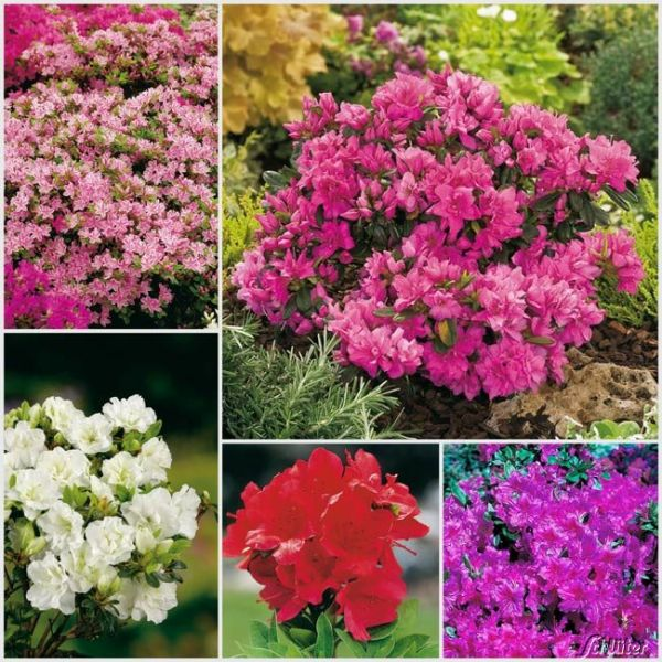 Japanischer Azaleen-Mix - 5 Stück Rhododendron obtusum Bild