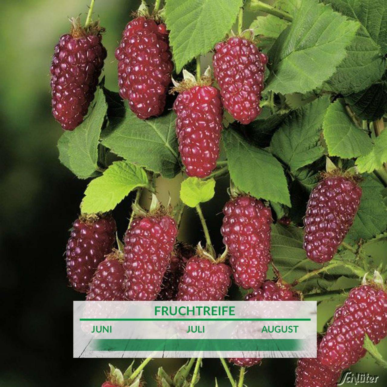 Him-Brombeere 'Buckingham Tayberry®'