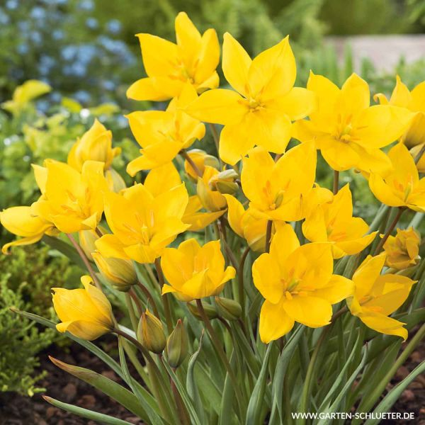 Weinbergtulpe 'Sylvestris' - 7 Stück Tulipa Sylvestris Bild
