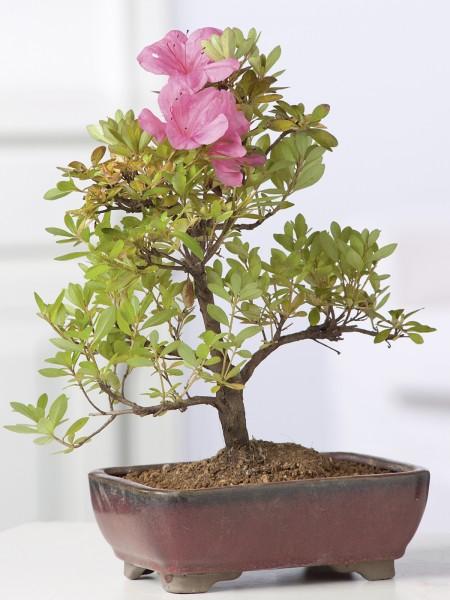 Azaleen-Bonsai