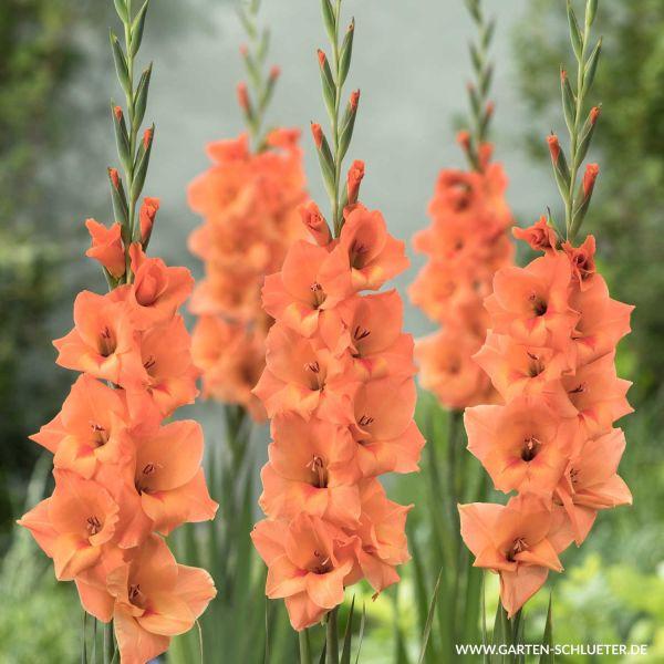 Gladiole 'Peter Pears' - 10 Stück Gladiolus Bild