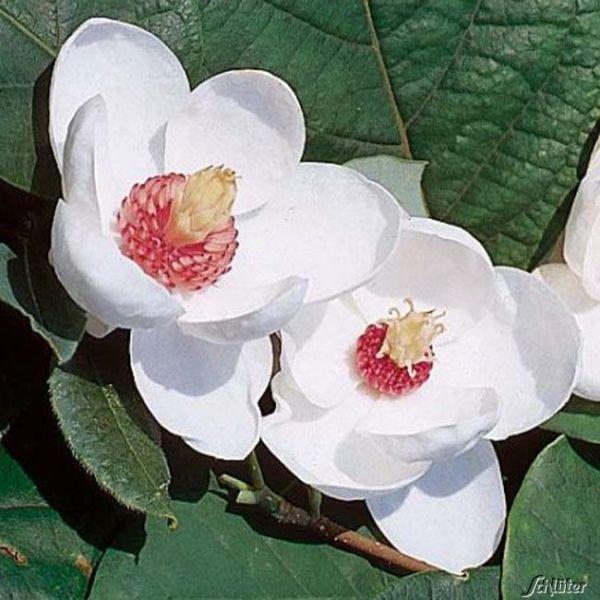 Sommer-Magnolie Magnolia sieboldii Bild