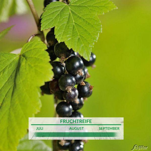 Schwarze Johannisbeere 'Ben Sarek' - Hochstamm Ribes nigrum 'Ben Sarek' Bild