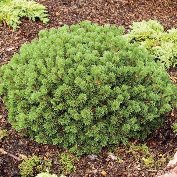 Zwerg-Kugelkiefer 'Mops' Pinus mugo 'Mops' Bild