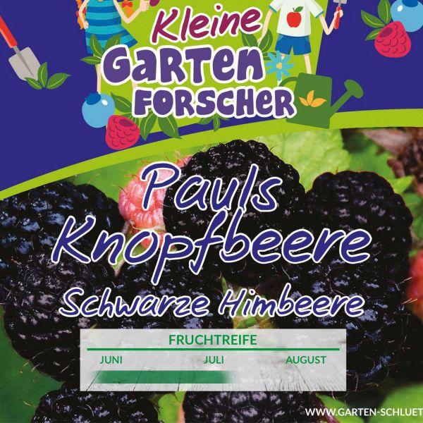Schwarze Himbeere 'Pauls Knopfbeere' Kleine Gartenforscher Rubus idaeus Bild