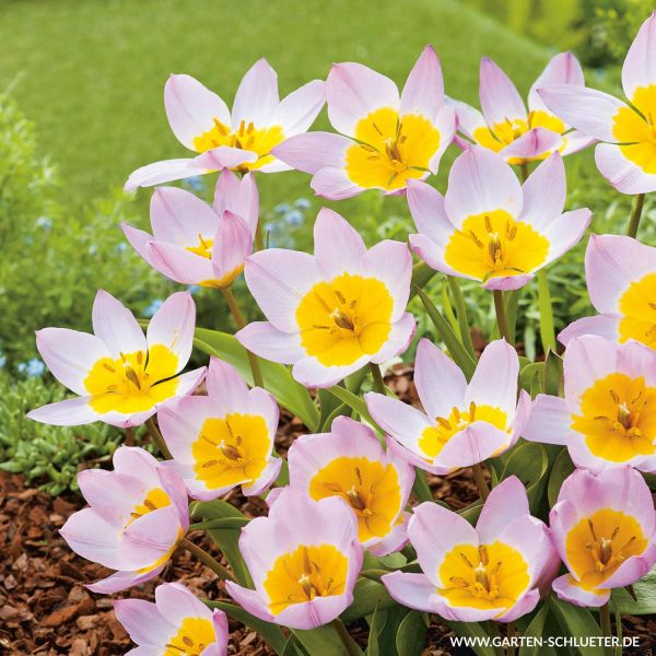 Wildtulpe 'Lilac Wonder' Tulipa 'Lilac Wonder' Bild