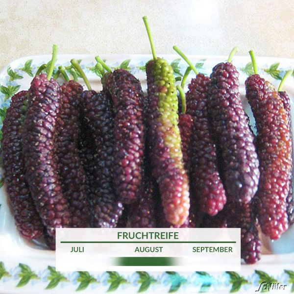 Weiße Maulbeere 'Giant Fruit®' Morus alba 'Giant Fruit®' Bild