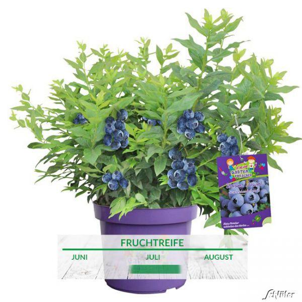 Gartenheidelbeere 'Blaues Juwel' - Kleine Gartenforscher Vaccinium corymbosum 'Blaues Juwel' Bild