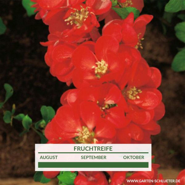 Nordische Zitrone / Strauchquitte 'Cido Red' essbar Chaenomeles japonica 'Cido Red' Bild