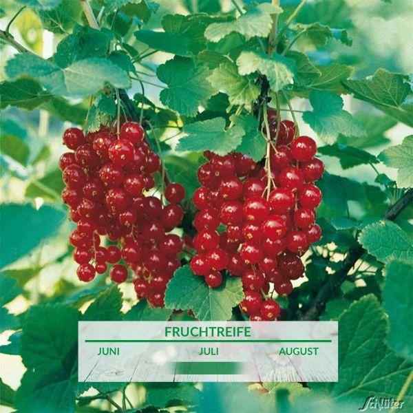 Rote Johannisbeere 'Jonkheer van Tets®' Ribes rubrum 'Jonkheer van Tets®' Bild
