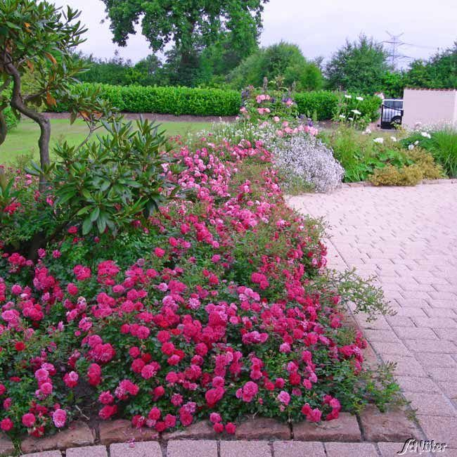 Garten-Schlueter.de: Bodendeckerrose Knirps ADR - Rose